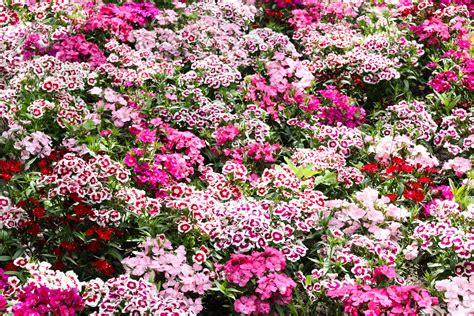 Garden Flowering Plants Free Images Blossom Purple Bloom Garden Pink Flowers Flower Bed Shrub