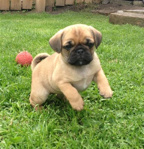 pug beagle for sale 3 4 pug 1 4 beagle puppys for sale durham county durham pets4homes