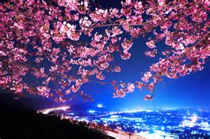 sakura japan wallpapers and images wallpapers pictures