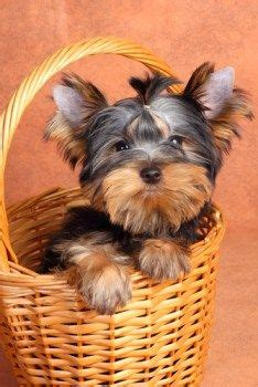 yorkie care information 1000 images about puppy on rescue dogs adoption and shelters