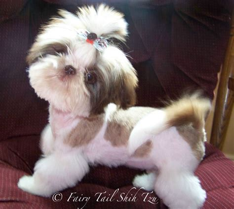 shih tzu pet rescue best 25 shih tzu rescue ideas on me and my shih tzu and shitzu puppies