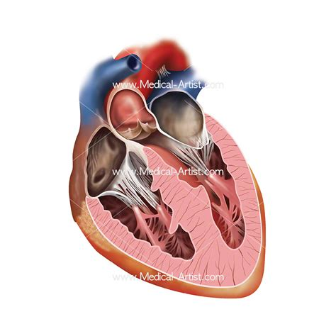 cross section of human heart cardiovascular medical illustrations heart vascular