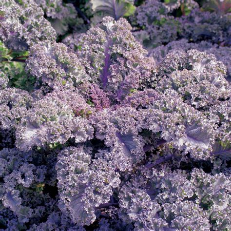 Seed Kale Curly 1 kale curly scarlet seeds from mr fothergill s seeds and plants