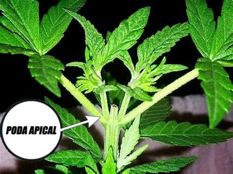poda marihuana interior como podar plantas de marihuana cosechando es