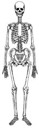 skeletal system clipart clipart suggest