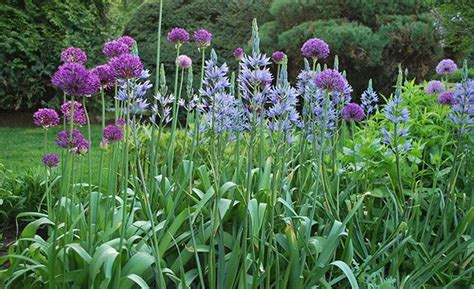 17 best images about garden allium purple sensation on pinterest gardens tulip and arches