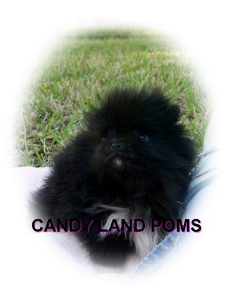 pomeranians for sale in houston pomeranian puppies for sale in houston teddy poms picture breeds picture