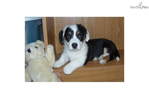 corgi puppies for sale san antonio corgi cardigan for sale for 300 near san antonio c32a145a 4401