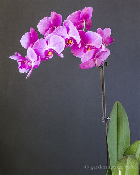 growing and repotting orchids it s easier than you think garden matter