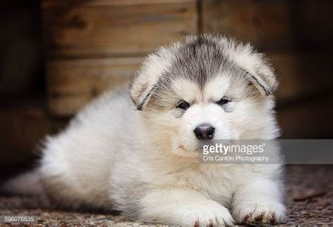 free alaskan malamute puppies malamute stock photos and pictures getty images
