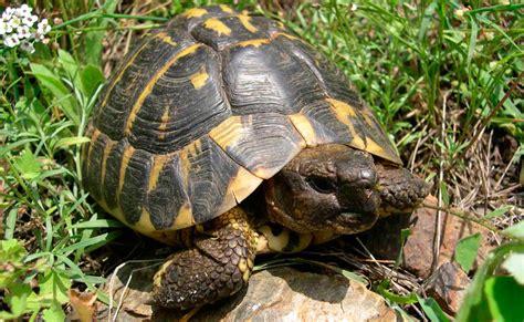 imagenes de libres y tortugas tortuga mediterr 225 nea
