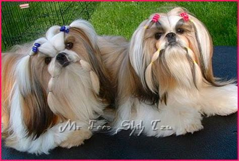 mr foo shih tzu pictures of shih tzu with pigtails 200 best images about for the groomer in me on