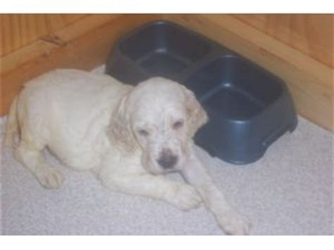 english setter dogs for sale in california english setter puppies in pennsylvania