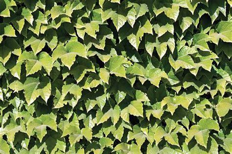 piante tappezzanti fiorite piante tappezzanti perenni sempreverdi quello c 232