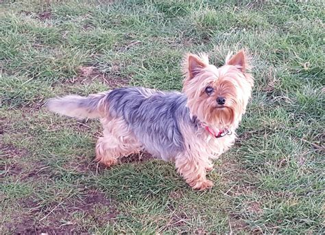 miniature yorkies adoption beautiful miniature terrier weymouth dorset pets4homes