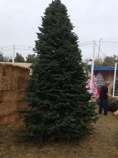 best 28 fresh cut christmas trees near me 28 best