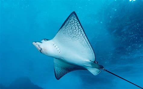 manta ray full hd wallpaper  background image
