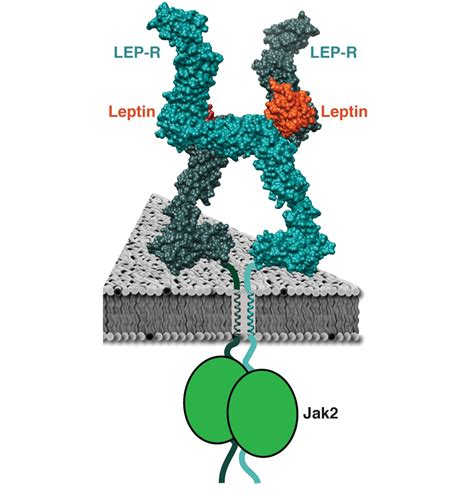 how does the leptin rx work living an optimized life skiniotis lab creates image of leptin receptor structure