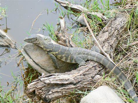 nile monitor travel african safari pinterest