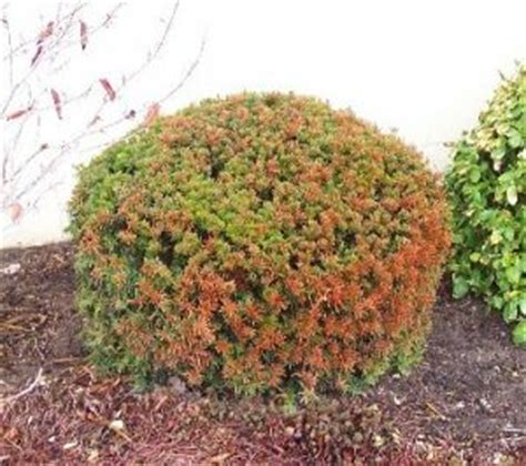 christmas tree turning brown grobe s nursery and garden centre winter browning of evergreens