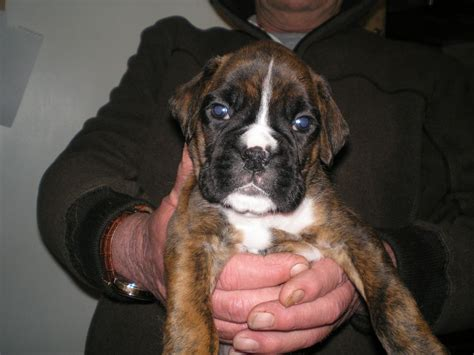 boxer puppies for sale colorado boxer puppies for sale chesterfield derbyshire pets4homes