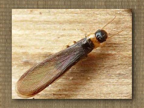 formiche volanti in casa infestanti legno impresa di disinfestazioni
