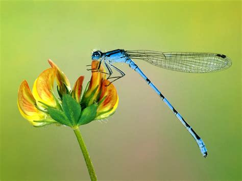 amazing dragonfly insect dragonfly facts images