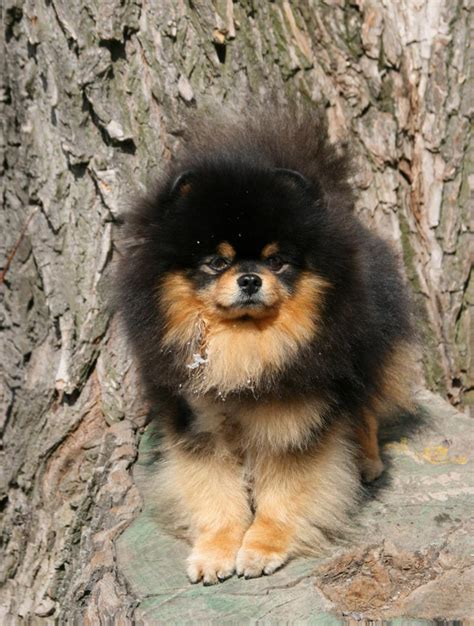 pomeranian black and brown black and brown pomeranian puppies www pixshark images galleries with a bite