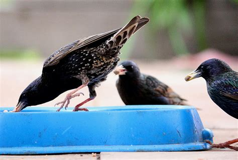starlings eating the dog s food explore joshr b s photos