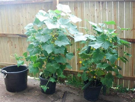 Planting Cucumbers On A Trellis Cucumbers In Pots Self Sufficient Culture