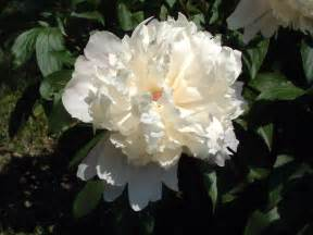 White Peony Flower - white peony flower images amp pictures becuo