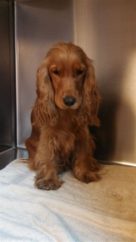 Goldener Schnitt Englisch by Best 25 Cocker Spaniel Ideas On