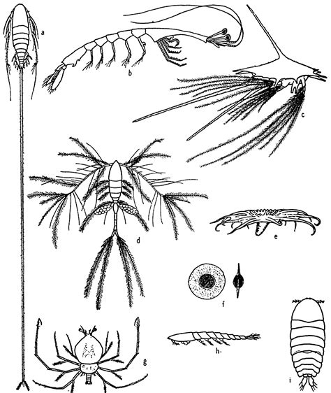zooplankton coloring pages zooplankton drawing www pixshark com images galleries