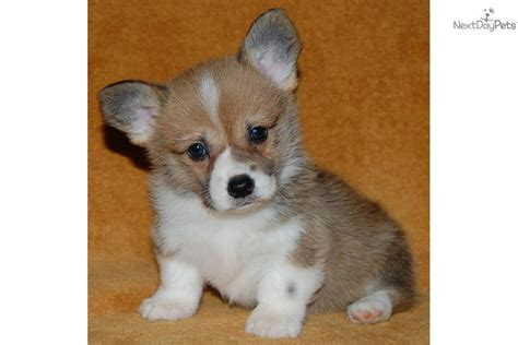 corgi puppies for sale 300 corgi puppy for sale near southeast ks kansas 7172b427 6ab1