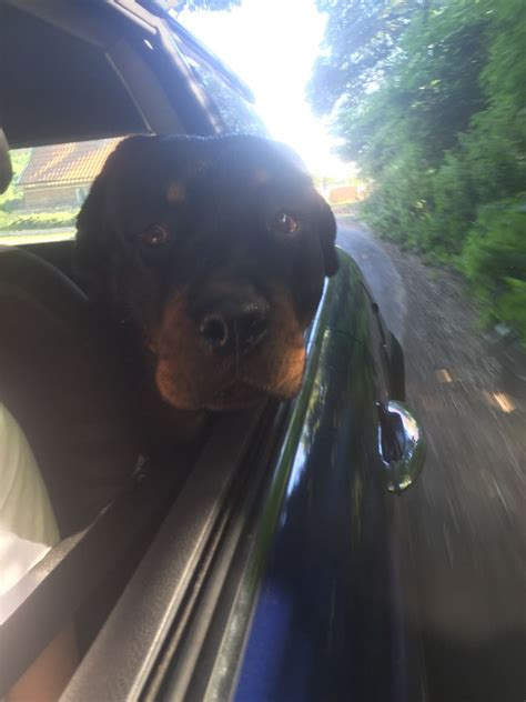 free rottweilers to home rottweiler free to home gentle woodbridge suffolk pets4homes