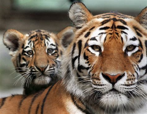 top  facts  tigers top  facts life style