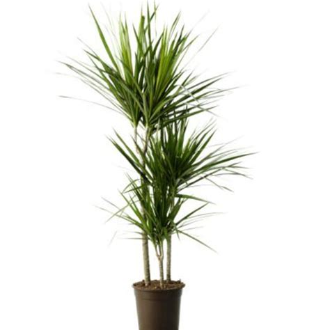 indoor houseplants dracaena marginata from ikea indoor plants house