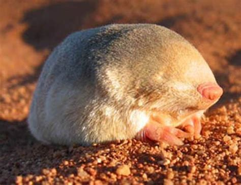 SOUTHERN MARSUPIAL MOLE LIFE EXPECTANCY