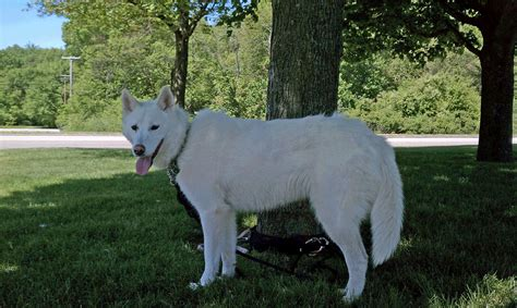 nearest pound white husky lost near animal shelter warwick beacon