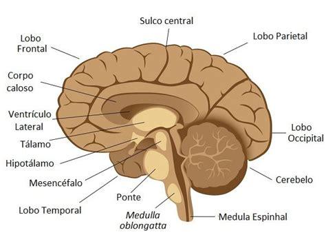 anatomia interna corpo umano c 233 rebro como funciona e anatomia guia definitivo