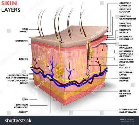 skin layers consist two layers superficial stock illustration 164345087 shutterstock