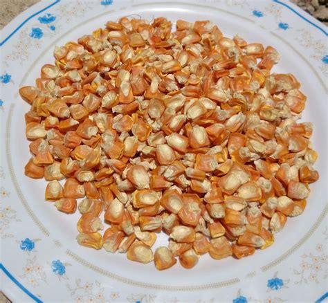 Benih Jagung Pulut Manis panduan menyemai benih jagung pulut pandan tanomkinotuan