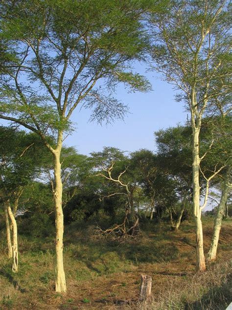 fever tree koorsboom vachellia xanthophloea