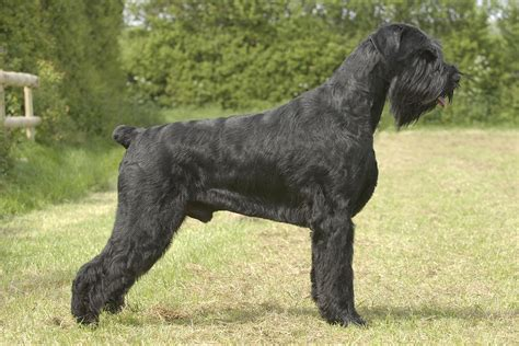 large breeds schnauzer all big breeds