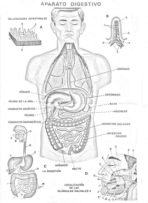 COLOREA TUS DIBUJOS: Aparato Digestivo para colorear