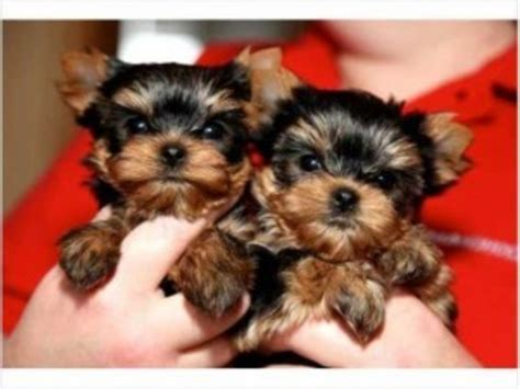 yorkie puppies for free in utah tiny teacup yorkie puppies animals hatch utah announcement 20264