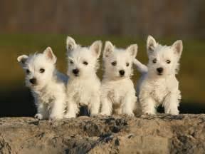 17 best puppy images on pinterest westies westie