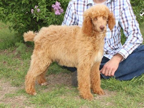 how to make a puppy gain weight how to make my standard poodle gain weight photo