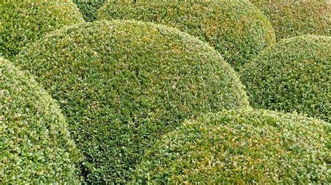 buchsbaum wann schneiden buchsbaum schneiden wann ist der perfekte zeitpunkt