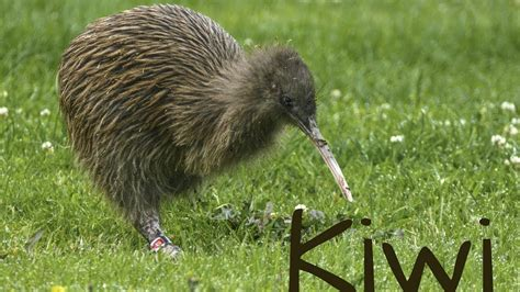 imagenes del animal kiwi amazing and surprising facts about kiwi bird the national